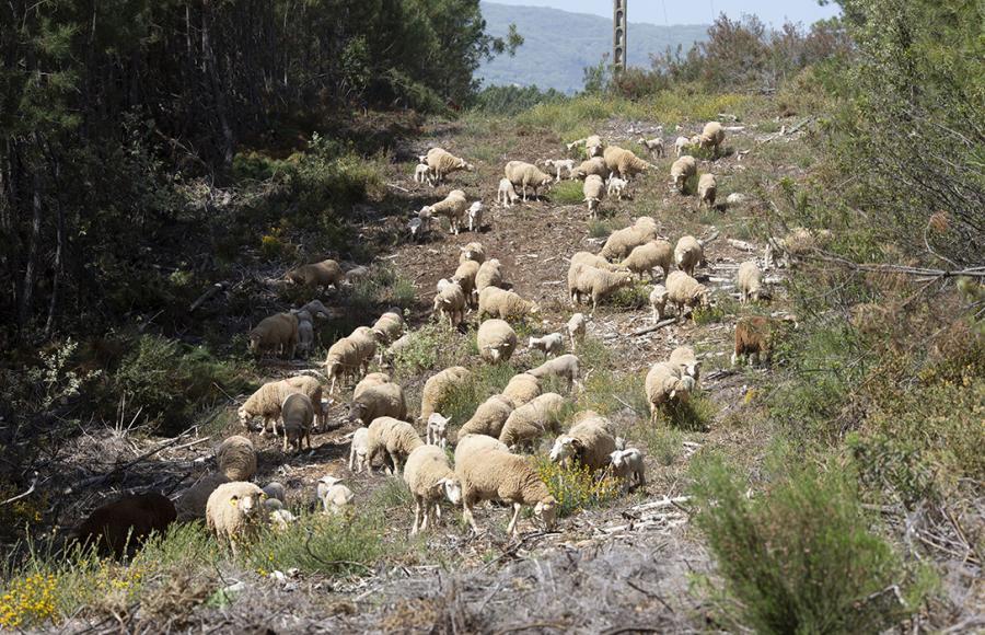 Actualidad Actualidad 2,5 kilos de hierba seca al día: eso es lo que limpia una oveja pastando en el monte, una prevención contra los incendios al comer cordero