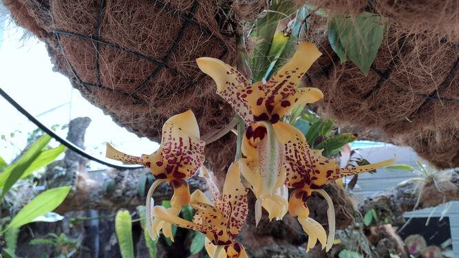 Estepona Estepona El Orquidario de Estepona acoge la floración de una especie que desprende aroma a chocolate