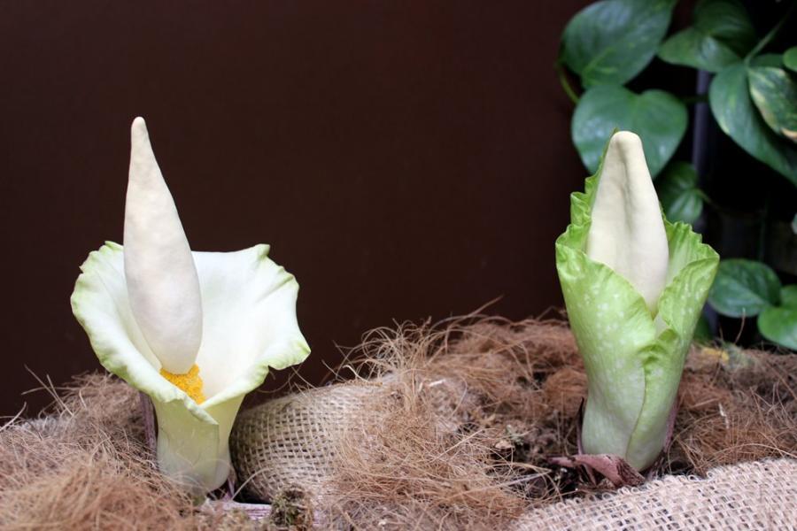 Estepona Estepona Florece en el Parque Botánico-Orquidario de Estepona una especie tropical  de la familia de la flor más grande del mundo