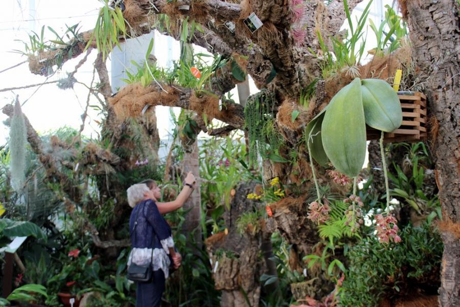 Estepona Estepona Florece por primera vez en Estepona una orquídea de las consideradas raras por el gran tamaño de sus hojas